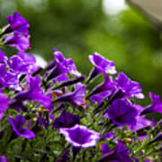 Mill Hill Inn Petunias Poster