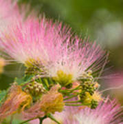 Mimosa Flower Poster