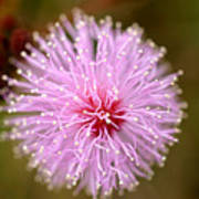 Mimosa Pudica Flower Poster