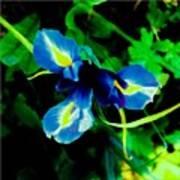Miniature Blue Iris Poster