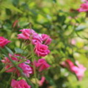 Miniature Fuchsia Roses Poster