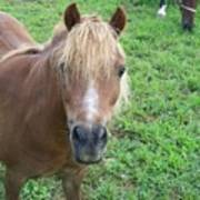 Miniature Horse Poster