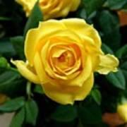 Miniature Yellow Rose Poster