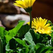 Miniature Yellow Gerbera Daisies Poster