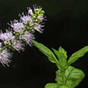 Mint Flower Poster