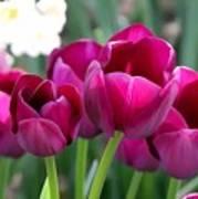 Miss Tulip Poster