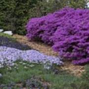 Missouri Botanical Garden Purple Azaleas Dsc01692 Poster