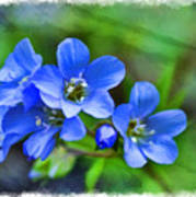 Missouri Wildflowers 5  - Polemonium Reptans -  Digital Paint 1 Poster