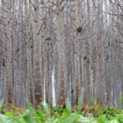 Mistery Poplars Woods  Poster
