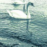 Misty Blue Swans Poster