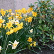 Mixed Daffodils Poster