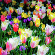 Mixed Tulips In Bloom  Poster