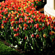 Mixed Tulips Poster