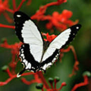 Mocker Swallowtail Poster
