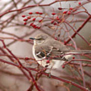 Mockingbird In Winter Rose Bush Poster