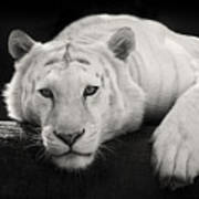 Mohan The White Tiger Poster