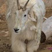 Molting Mountain Goat Poster