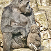 Momma And Baby Gorilla Poster