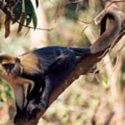 Mona Monkey In A Tree Poster