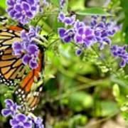 Monarch And Purple Flowers Poster