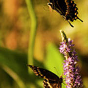 Monarch Butterflies In Spring At Wakulla Springs Poster