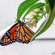 Monarch Butterfly In The Garden 3 Poster