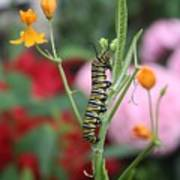 Monarch Butterfly Caterpillar Poster