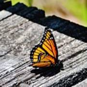 Monarch Butterfly I Poster