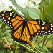 Monarch Butterfly II Poster