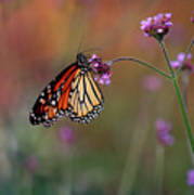 Monarch Butterfly In Autumn 2011 Poster