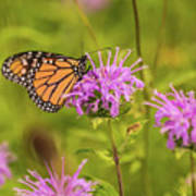 Monarch Butterfly On Bee Balm Flower Poster