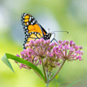 Monarch Butterfly On Swamp Milkweed Poster