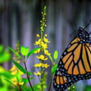 Monarch Butterfly Poised On Green Stem Among Yellow Flowers Poster