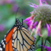 Monarch Butterfly Posing Poster