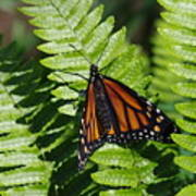 Monarch On A Fern Poster
