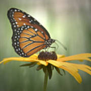 Monarch On A Black Eyed Susan Poster