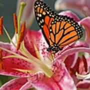 Monarch On A Stargazer Lily Poster
