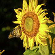 Monarch On A Sunflower Poster