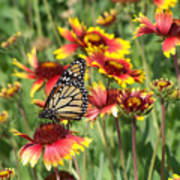 Monarch On Blanketflower Poster