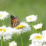 Monarch On Daisies Poster