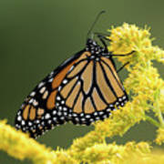 Monarch On Goldenrod Poster
