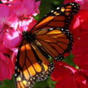 Monarch On Summer Geraniums Poster