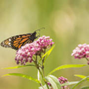 Monarch On Swamp Milkweed 2014-1 Poster
