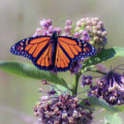 Monarch On The Milkweed Poster