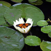 Monarch On Waterlily Poster