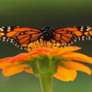 Monarch Orange Poster