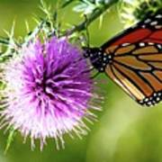 Monarch Thistle Poster