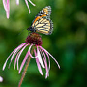 Monarched Coneflower Poster
