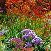 Yellow-orange Kangaroo Paws And Sea Lavender By Napier At Pilgrim Place In Claremont-california Poster