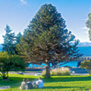 Monkey Puzzle Tree In Central Park In Bariloche-argentina  Poster